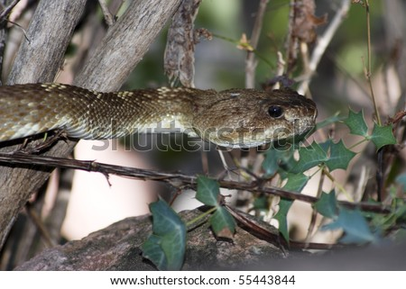 Head of Black tailed rattlesnake, Crotalus molossus - stock photo