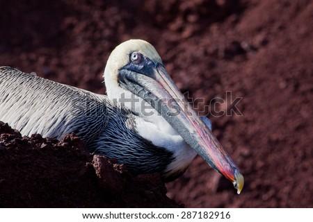 Head of brown pelican (Pelecanus occidentalis) at Galapagos Islands, Ecuador, Pacific, South America  - stock photo