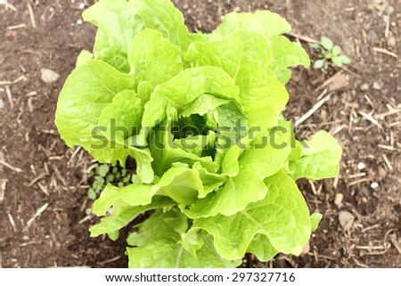 Head of butterleaf lettuce growing in a garden.