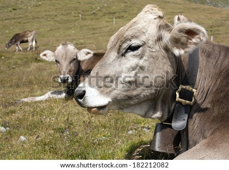 head of cow (bos primigenius taurus), with cowbell  - stock photo