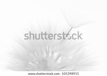 Head of dandelion close-up on white background. Black&white, high key.