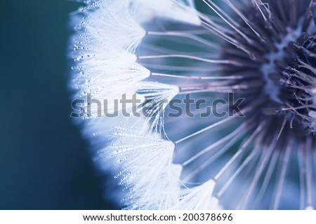 head of dandelion in the morning close up - stock photo