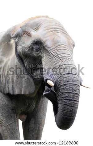 head of elephant on white background - stock photo