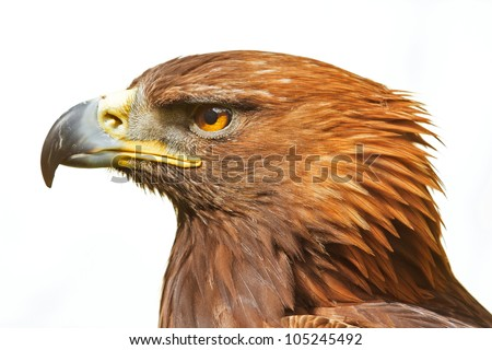head of golden eagle isolated - stock photo