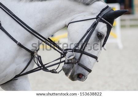 Head of gray horse. Equestrian sport. - stock photo