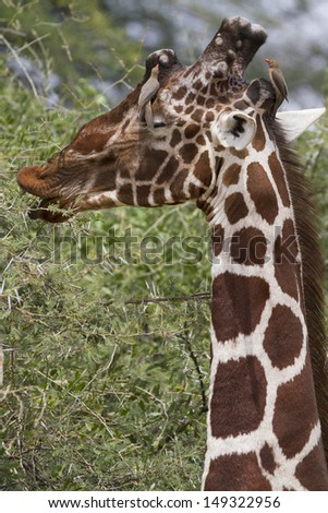 Head of male reticulated giraffe with oxpecker bird  - stock photo