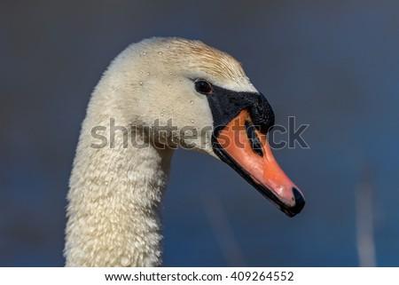 Head of Mute swan (Cygnus olor) against blue water - stock photo