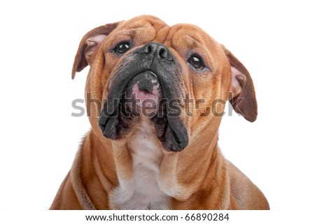 Head of old english bulldog isolated on a white background - stock photo