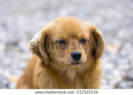 head of pekingese dog