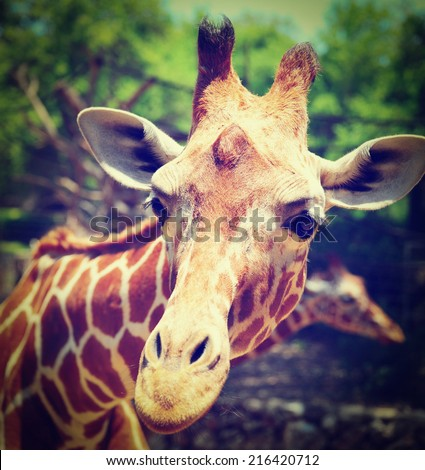 Head Of Reticulated Giraffe, Girafa Camelopardalis Reticulata, Instagram Effect - stock photo