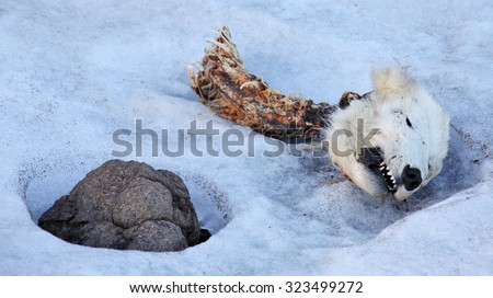 Head of the dead polar bear, young bear was killed by adult male bear - stock photo