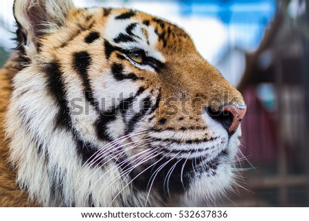 Head of the tiger in the zoo