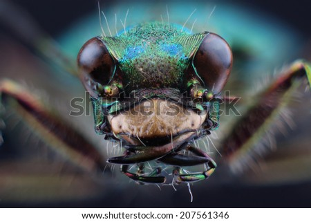 Head of tiger beetle (Cicindella campestris). Macro - stock photo