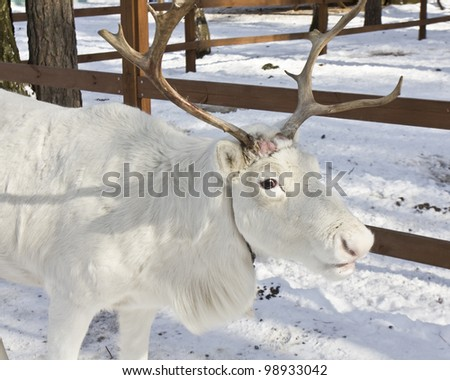 Head of white deer on snow in March, when they start loosing horns. - stock photo