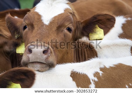 head of young reddish brown cow between other cows - stock photo