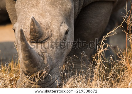 Head on view of a White Rhino in dry brown grass - stock photo