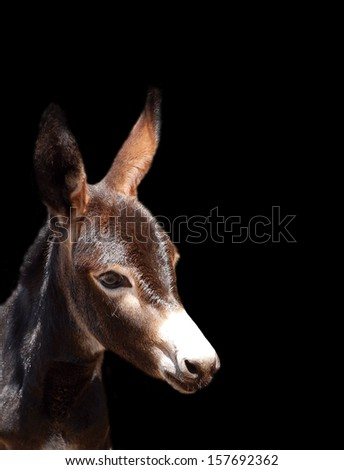 Head portrait of a beautiful donkey foal with attentive facial expression looking to the side. Image on black studio background. - stock photo