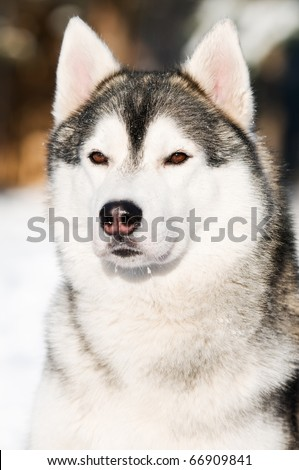 head Portrait of adorable young siberian male husky at snowy winter outdoors