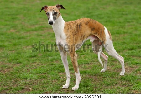 ... Rhodesian Ridgeback Hound Dog Head Portrait With   Dog Breeds Picture