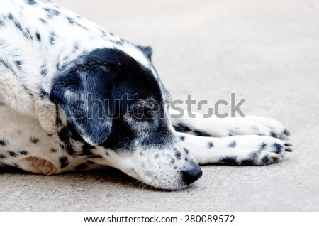 head shot close up of a black and white dalmatian dog no purebred laying on the gray color concrete garage floor outdoor under natural sunlight in summer  - stock photo