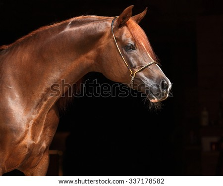 Head shot of a bay arabian horse against a dark stable background