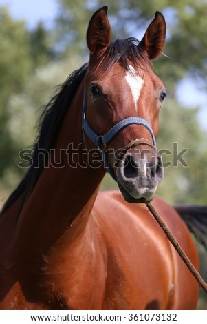 Head shot of a beautiful arabian horse with harnesses - stock photo