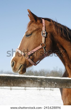 Head shot of a beautiful thoroughbred horse in winter pinfold under blue sky rural scene - stock photo