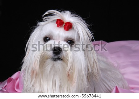 Head shot of a cute white Maltese dog with red ribbon sat on pink material against a black background. - stock photo