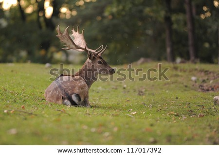 head shot of a fallow deer stag (dama dama) - stock photo