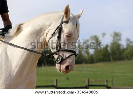 Head shot of a gray colored purebred horse with unique blue eyes  - stock photo