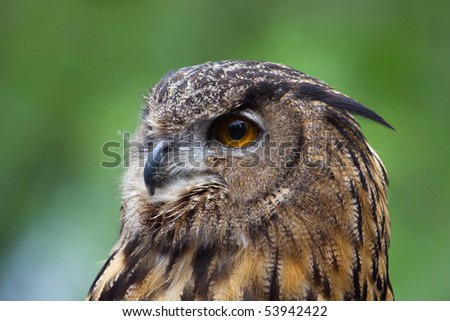 Head shot of a Great Horned Owl. - stock photo