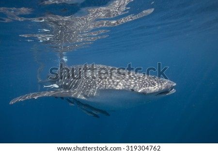 Head shot of a large whale shark (Rhincodon typus) feeding on the surface off a coral reef near the Daymaniat Islands in Oman with attendant following Remora (Remora remora) and other symbiotic fish - stock photo