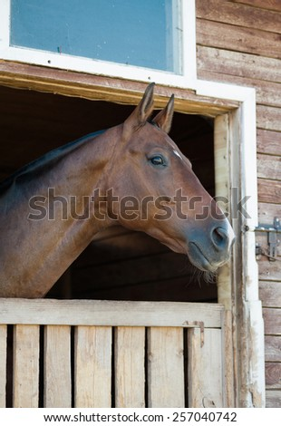 Head shot of a purebred bay horse in stable - stock photo