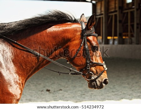 Head shot of a purebred sports horse