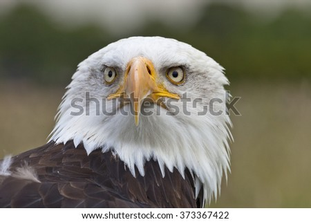 Head shot of Bald Eagle looking in the camera