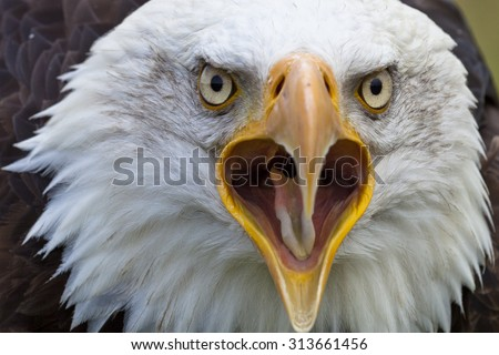 Head shot of Bald Eagle looking with open beak in the camera - stock photo