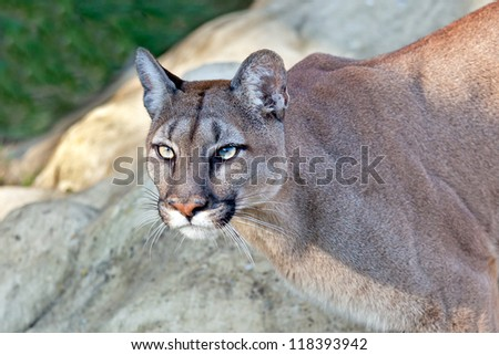 Head Shot of Beautiful Puma in Afternoon Sun Felis Concolor - stock photo