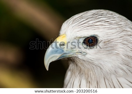 Head Shot of Brahminy Kite, Thailand