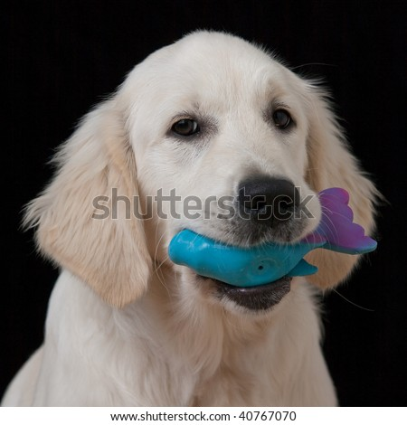 Head Shot of Cute Golden Retriever Puppy with Pet Toy in Mouth on a Black Background