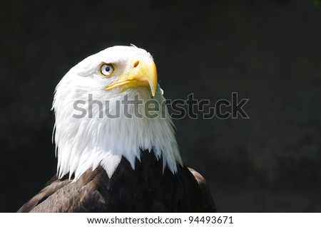 Head shot of eagle