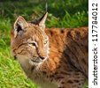 Head Shot of Eurasian Lynx Looking Over Shoulder in Afternoon Sunshine - stock photo