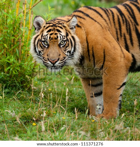 Head Shot of Sumatran Tiger in Grass Panthera Tirgris Sumatrae - stock photo