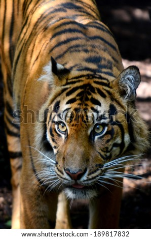 Head Shot of Sumatran Tiger in its natural habitat. - stock photo