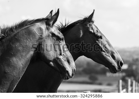 Head-shot of two beautiful horses in a field, monochrome - stock photo