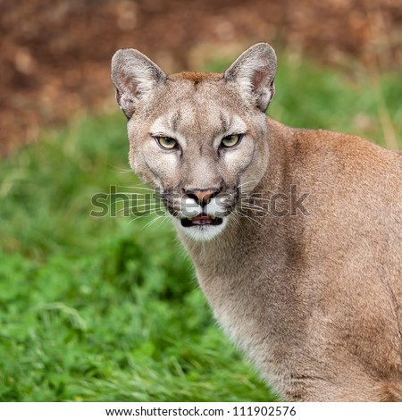 Head Shot Portrait of Beautiful Puma Felis Concolor - stock photo