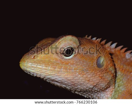 head shotvof a lizard isolated on black background