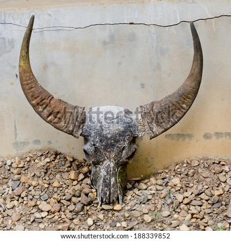 head skull of bull - stock photo