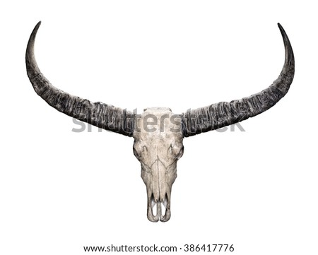 Head skull of Wild water buffalo (Bubalus arnee) isolated on white background - stock photo