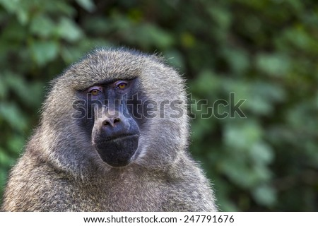 Head view of Anubus baboon in Tarangire National Park, Tanzania - stock photo