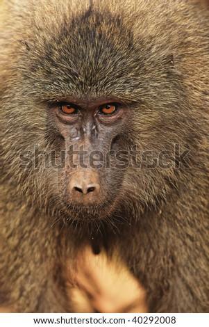 Head view of Anubus baboon in Tarangire National Park, Tanzania. - stock photo
